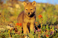 Gray Wolf (Canis lupus) pup among wildflowers.