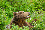 Six ours bruns agés de un à six ans sont hébergés dans les enclos de Kuterevo. La population d'ours bruns en Croatie est estimée entre 400 et 600 individus.Six brown bears are living in the bear orphenage of Kuterevo in the Velebit mountains. Beetween 400 and 600 bears live in the croatian mountains.