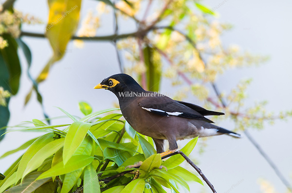 Common Myna (Acridotheres tristis) perched in a tree. (Siem Reap, Cambodia)
