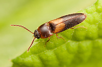 Click Beetle (Ampedus areolatus), West Harrison, Westchester County, New York
