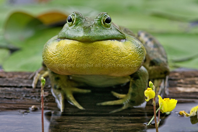 A Bullfrog croaking.