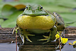A Bullfrog croaking.