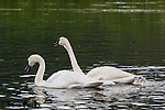 Trumpeter swan pair with young cygnets. National Elk Refuge, Wyoming.