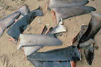 shark fins harvested for soup, the rest of the carcass is discarded, Egypt, Red Sea