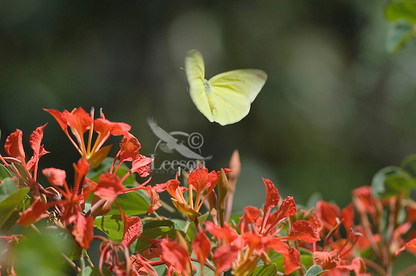 Clouded Sulphur Butterfly or Common Sulphur (Colias philodice) flying.
