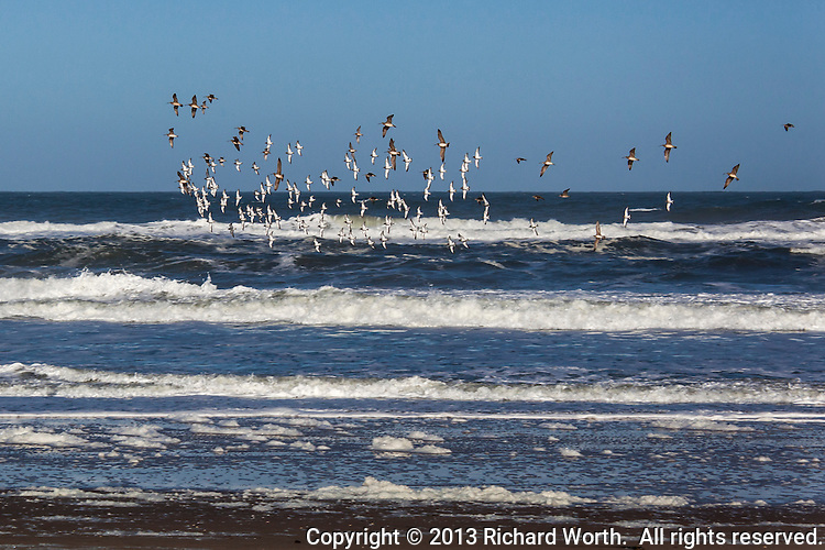 A collection of Whimbrels and Surfbirds communicate across species lines to perform, in unison, a right turn, at Pomponio State Beach on California's coast.