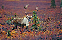 Barren-ground Caribou bull (Rangifer tarandus granti) near spruce tree in early September amid fall color of tundra in Denali National Park, Alaska, U.S.A.