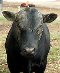 Live black Angus cattle.