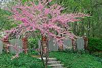 Unique fence of wood and brick provide privacy and plants soften and warm with stunning blooming redbud tree, Cercis canadensis L. (Eastern Redbud)