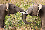 .African elephants play fighting..