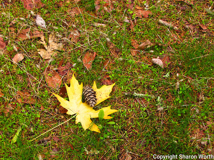 In autumn, fall, leaves fall, to the ground.  So do cones.  A bright yellow leaf with a cone on the ground at Bothe State Park in California's Napa Valley.