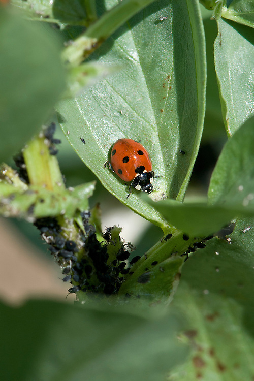 A 7-spot ladybird (Coccinella 7-punctata) and black bean aphids (Aphis fabae) on a broad-bean plant, early June.