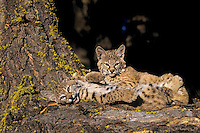 Two young bobcat kittens playing.  Western U.S.