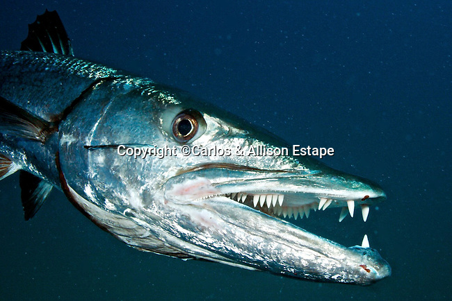 Great Barracuda, notice juvenile Whitefin Sharksucker (Echeneis neucratoides) below eye
