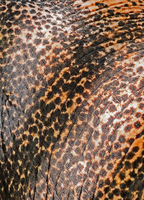 Elephant close up of the skin. Thailand