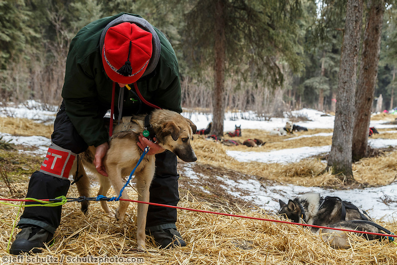 Volunteer vet Mike Lyndeen checks a dog at the Rohn  checkpoint during Iditarod 2016.  Alaska.  March 08, 2016.  <br /> <br /> Photo by Jeff Schultz (C) 2016 ALL RIGHTS RESERVED