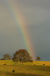 Cattle graze in the field beneath a rainbow in late winter, Amador County, Calif.