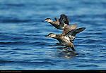 Ruddy Duck, Juveniles Landing, Sepulveda Wildlife Refuge, Southern California