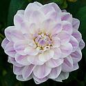Dahlia 'Crystal Beauty', mid August.