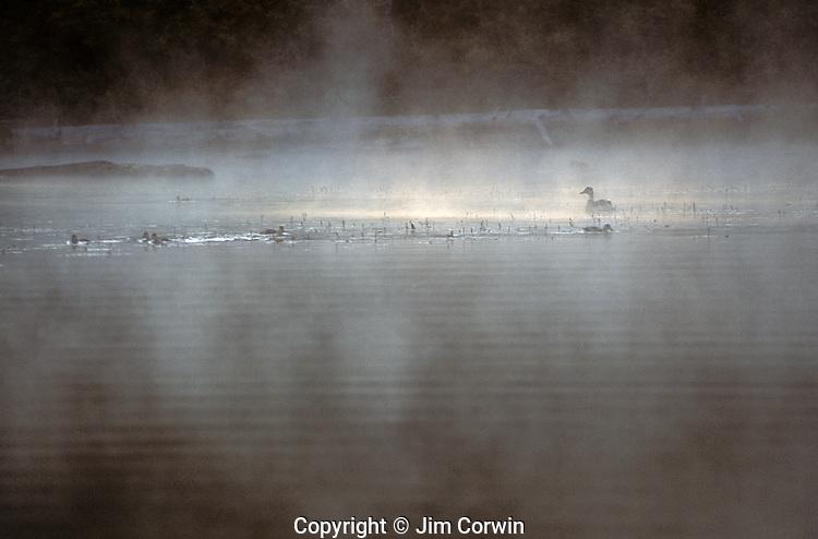 Female mallard duck in lagoon with baby ducklings sunrise in fog Lake Mason on the Olympic Penninsula Washington State USA