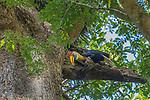 Indonesia, Sulawesi, knobbed hornbill (Rhyticeros cassidix), also known as Sulawesi wrinkled hornbill