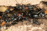 AN12-009z  Ant - workers tending queen