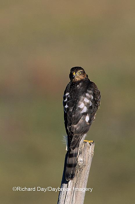 00787-00110 Sharp-shinned Hawk (Accipiter striatus) immature female on fence post   CO