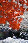 A Red Maple branch hangs over the Oriase River in Lake Towads National park in Aomori Prefecture in Northern Honshu, Japan. Jim Bryant Photo. ©2012. All Rights Reserved.