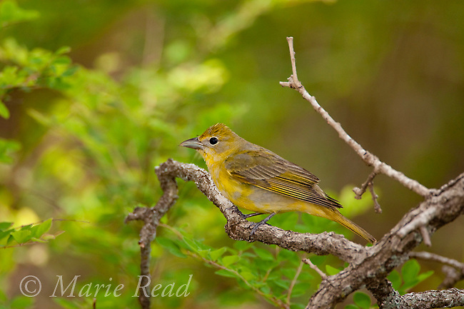 Summer Tanager (Piranga rubra) female, Wichita Mountains National Wildlife Refuge, Oklahoma, USA