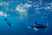 as Brandon Cole (left), Randy Morse (center), and Skp Stubbs (right) photograph a bait ball of sardines, with striped marlin, Kajikia audax, feeding on it, a Bryde's whale, Balaenoptera brydei or Balaenoptera edeni, approaches unseen at high speed, Baja California, Mexico ( Eastern Pacific Ocean ) #1 in sequence of 9