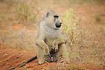 Monkeys photographed on safari in Tsavo  East National Park, Kenya