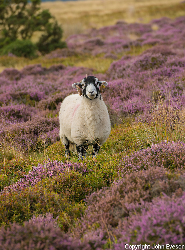 Swaledale ewe in heather on Harrisend Fell, near Oakenclough, Lancashire.