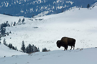 Lone Bison(bison bison)searching for food on snow covered ground