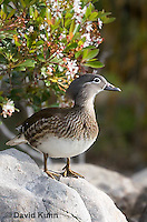 0310-1020  Female Mandarin Duck, Aix galericulata  © David Kuhn/Dwight Kuhn Photography.