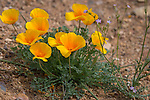 Bright yellow poppies blooming in Arizona in the spring