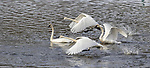 Trumpeter swans taking flight in northern Wisconsin.