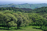Oak trees in spring, Morgan Territory Regional Park, Contra Costa County, CALIFORNIA