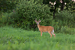 Young white-tailed buck in summer