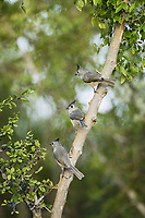black-crested titmouse, Baeolophus atricristatus, also known as Mexican titmouse, adult with young perched, Rio Grande Valley, South Texas, Texas, USA, North America