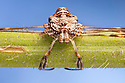 Harvestman {Dicranopalpus ramosus}. Peak District National Park, Derbyshire, UK. September. Focus stacked image.