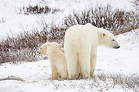 01874-109.06 Polar Bears (Ursus maritimus) female & 2 cubs near Hudson Bay, Churchill  MB, Canada