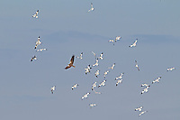 Marsh Harrier Circus aeruginosus - with Avocet flock. Wingspan 110-125cm.Graceful wetland raptor. Adult male is mostly reddish brown with blue-grey head and grey tail. In flight, note patches of grey and reddish brown on wings, and black wingtips. Adult female is mainly dark brown with pale leading edge to wings and pale cap and chin. Tail is reddish brown. Juvenile is similar to an adult female but tail is dark brown. Voice – mainly silent. Status and habitat – Commonest in summer months, but some birds are present year-round. Usually seen in flight over marshes and reedbeds. Easiest to see in East Anglia.