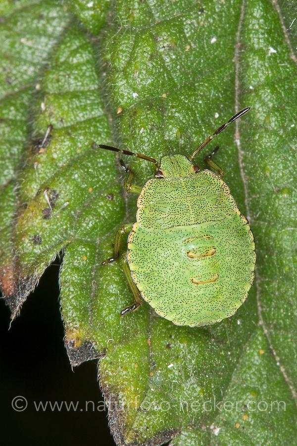Grüne Stinkwanze, Larve, Nymphe, Jungtier, Palomena cf. prasina, Green Shieldbug, common green shield bug