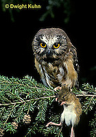 OW03-012z  Saw-whet owl - with mouse prey - Aegolius acadicus