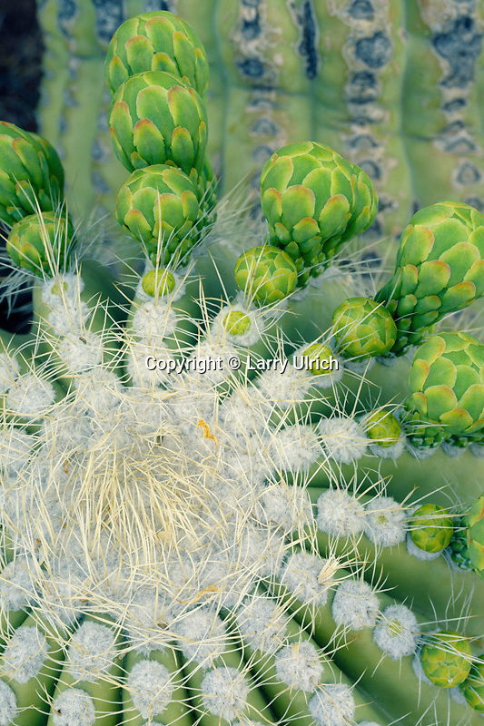 Saguaro flower buds<br /> Superstition Wilderness<br /> Tonto National Forest<br /> Sonoran Desert,  Arizona