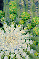 Saguaro flower buds<br />