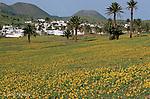 Champs en fleurs vers le village de Haria. Ile de Lanzarote. .carpet of flowers nearby Haria village. Lanzarote island