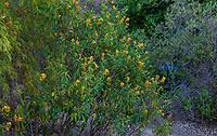 Orange flowering shrub; Arlington Garden, Pasadena