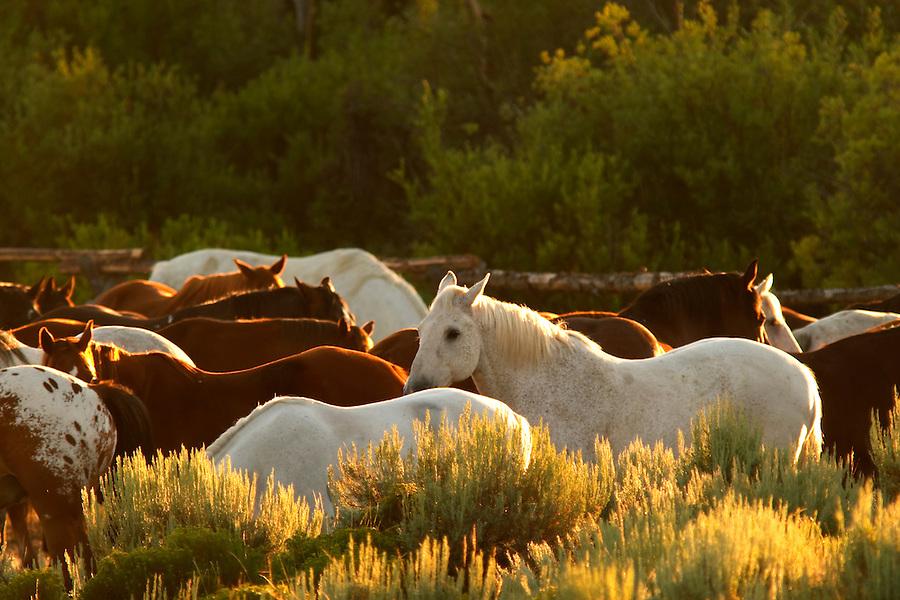 Rounded up horses, Triangle X Ranch, Grand Teton National Park, Teton County, Wyoming, USA