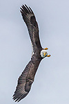 bald eagle (Haliaeetus leucocephalus) , Glacier Bay National Park, Alaska, USA